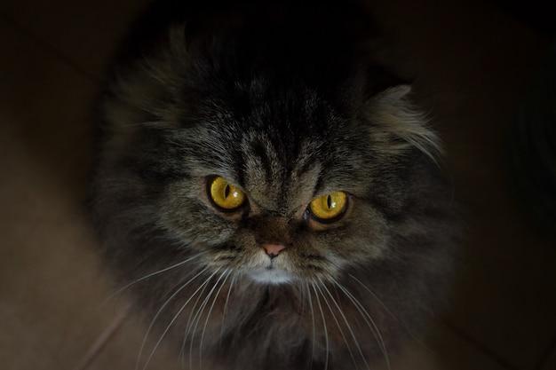 Ciérrese encima del retrato del gato escocés peludo gris enojado serio con los ojos anaranjados que miran en cámara