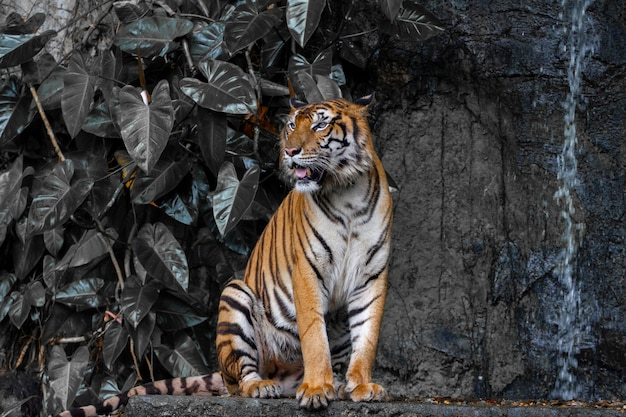 Ciérrese encima del tigre siéntese delante del tono oscuro de la cascada.