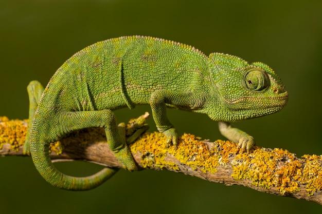 Ciérrese encima de vista de un camaleón verde lindo en el salvaje.