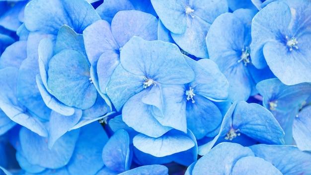 Ciérrese para arriba de hortensia azul en el jardín.
