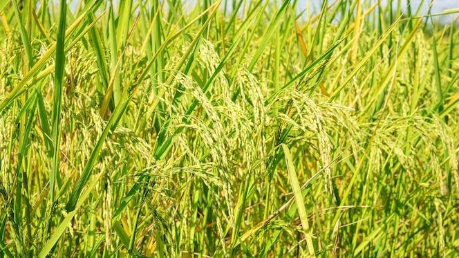 Ciérrese para arriba de una planta de arroz del oído en tailandia.