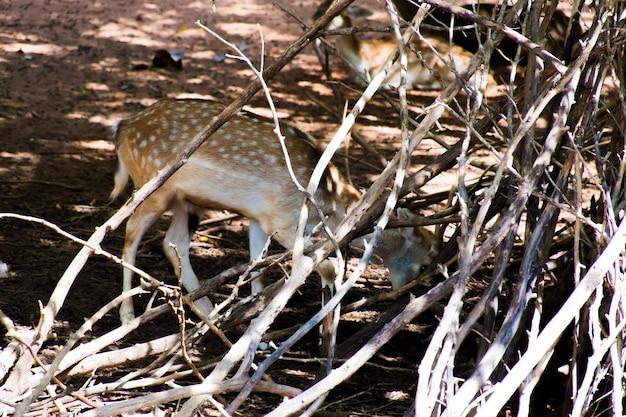 Un ciervo estrella parado detrás de una rama.