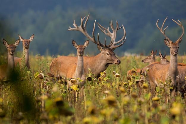 Ciervo en el hábitat natural durante la rutina de los ciervos