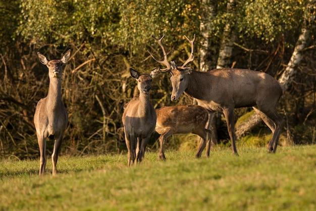 Ciervo rojo en el hábitat natural durante la rutina de los ciervos fauna europea