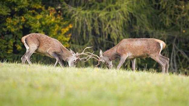 Ciervos ciervos comprometidos en la lucha territorial