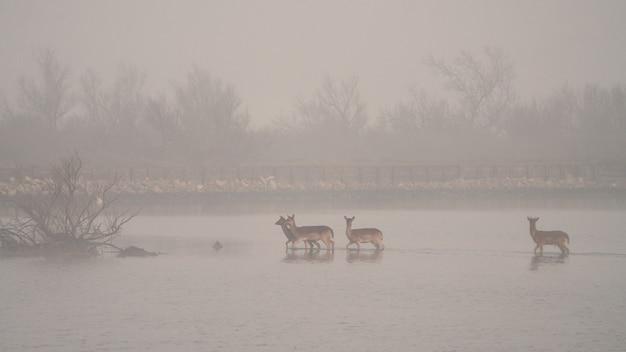 Ciervos en un lago con niebla