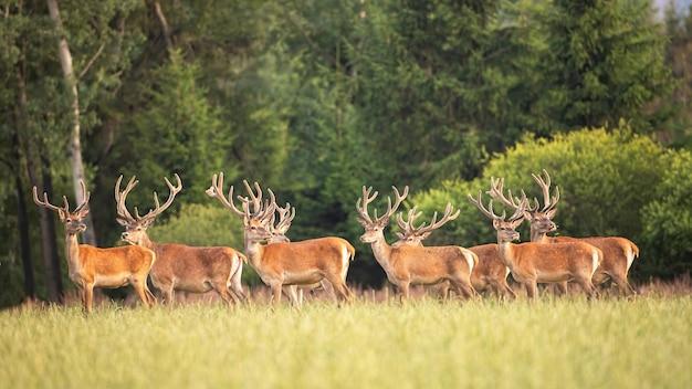 Ciervos rojos ciervos con cuernos en crecimiento en terciopelo de pie en la pradera