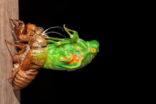Cigarra muda exuvias emergentes