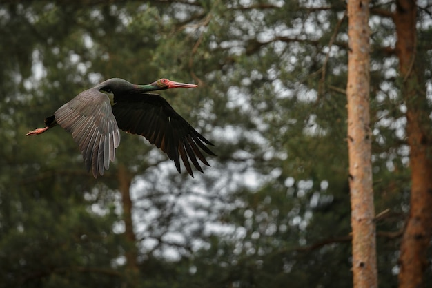 Cigüeña negra en la oscuridad del bosque europeo