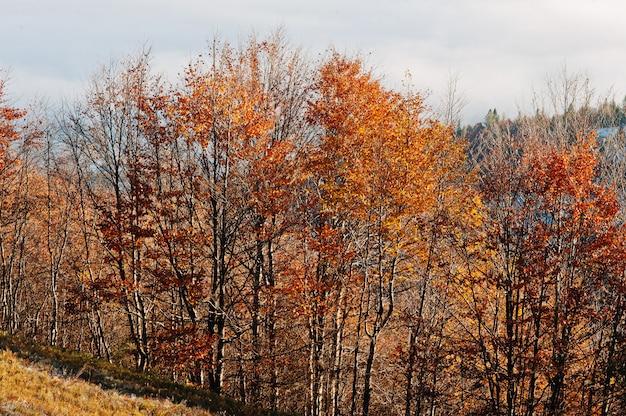 La cima de árboles en luces del sol en otoño de las montañas empaña la niebla.