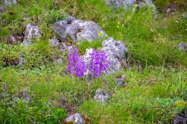 En las cimas de las montañas crecen hermosas flores.