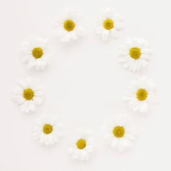 Círculo de brotes de flor de la margarita