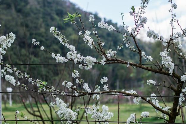 Ciruela blanca hermosa y linda flor pequeña.