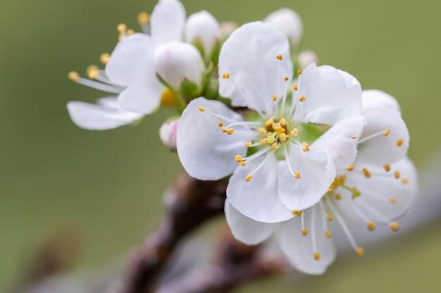 Ciruela china en flor