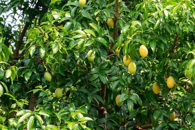 Ciruela de mango y fruta de verano. color amarillo caro pero delicioso.