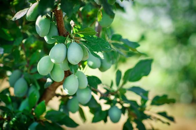 Ciruelas orgánicas frescas en el árbol. ciruela verde.