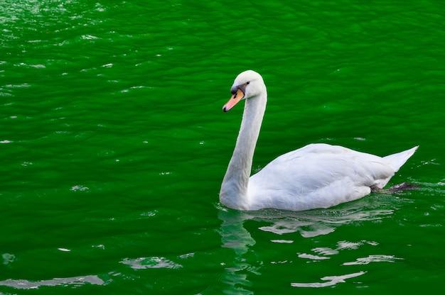 Cisne blanco en el estanque verde.