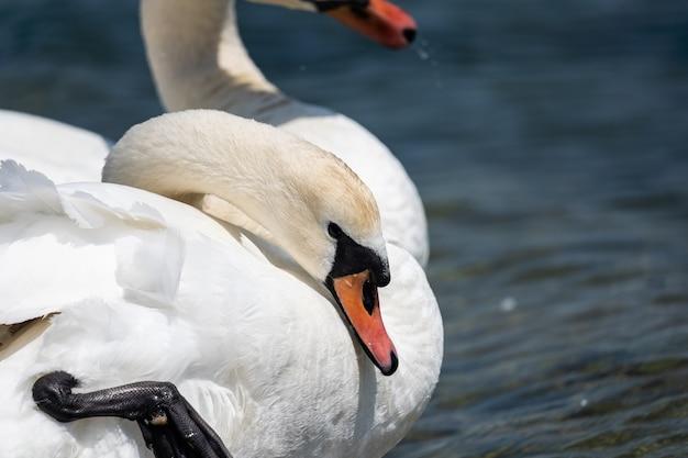 Cisne blanco en el lago closeup el cisne bajó la cabeza