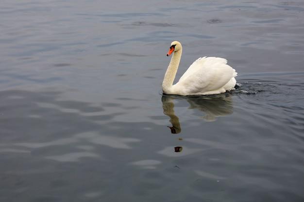 El cisne blanco está nadando en el río en suizo