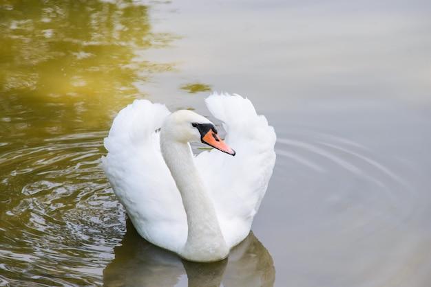 Cisne blanco solitario en estanque