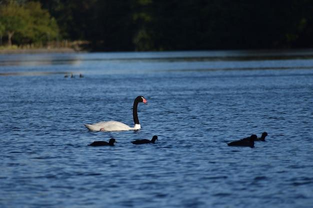 Cisne de cuello negro (cygnus melancoryphus) en un parque en buenos aires.