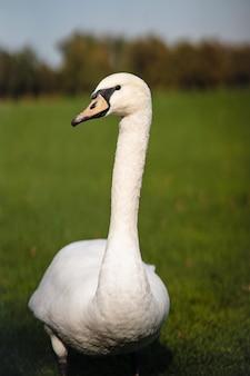 Cisne, cygnus olor, adulto, cerrar