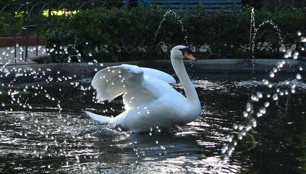Cisne mudo rodeado por el agua