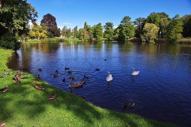 El cisne en el parque potsdam, alemania