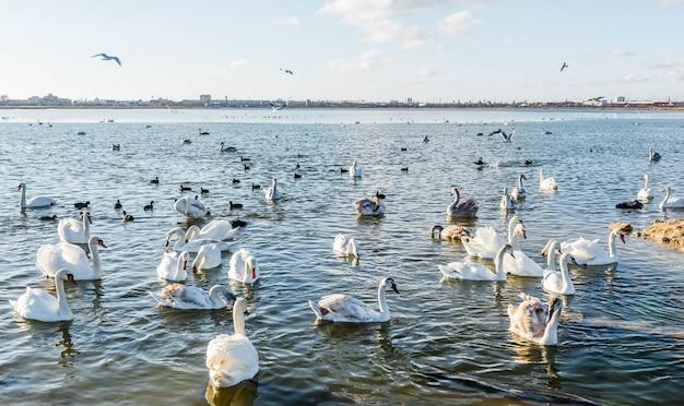 Cisnes blancos en el lago