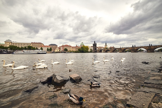 Cisnes blancos en praga sobre el río vltava junto al puente de carlos, república checa