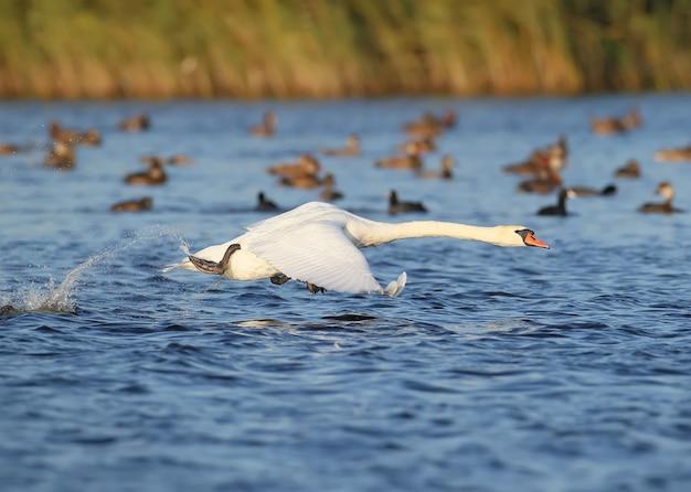 Uno cisnes corriendo en el agua para despegar.