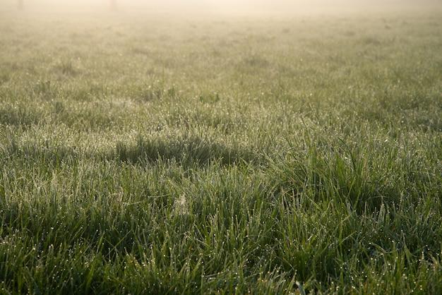 Claro de la mañana. la hierba verde fresca está cubierta de rocío. amanecer. la niebla envuelve el espacio.