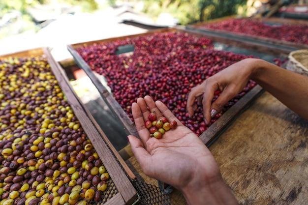 Clasificación de granos de café cereza, manos clasificando granos de café