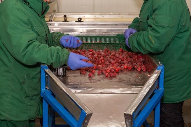 Clasificación manual de cerezas congeladas en el transportador. trabajadores con un uniforme cálido en la tienda de congelación de bayas.
