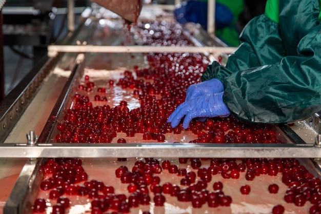 Clasificación manual de cerezas frescas en el transportador. manos del trabajador en uniforme y guantes.
