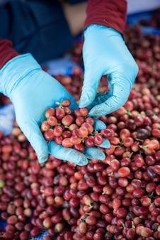 Clasificar a mano los buenos granos de café y los granos de café rotos.