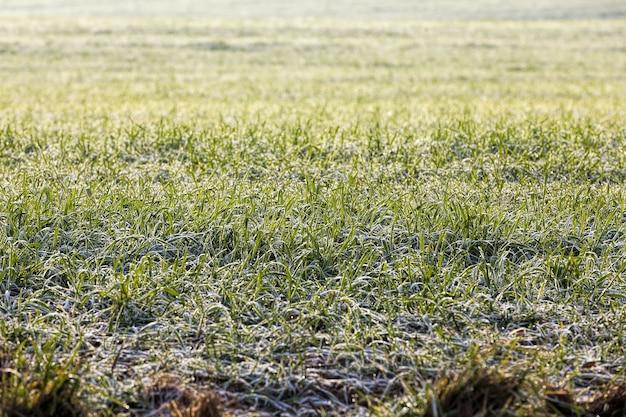 Clima invernal en un campo agrícola donde se cultivan cereales de invierno, pequeñas plantas durante las heladas