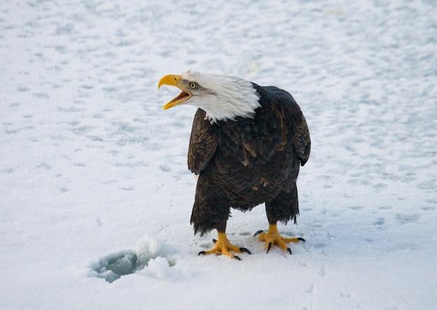 Close-up de águila calva en un día de invierno