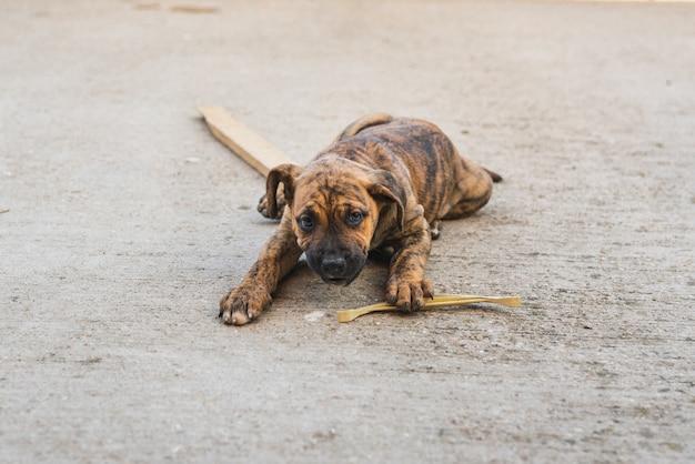 Close-up de un cachorro alano español jugando con un palo en el patio de la casa