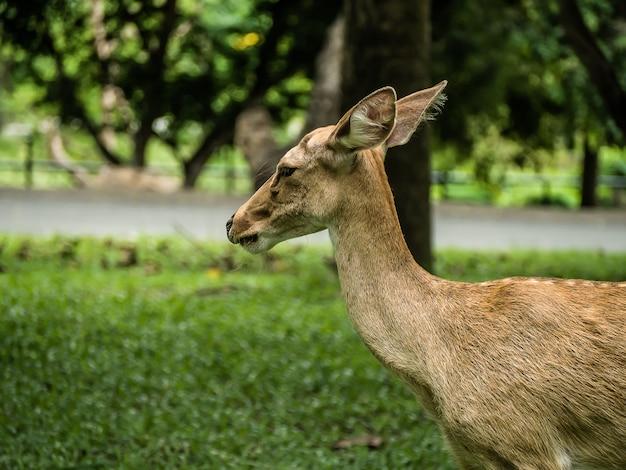 Close-up ciervo de eld o ciervo con astas de frente rucervus eldii thamin de pie en el césped