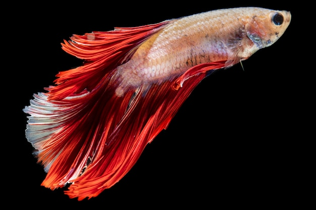 Close-up dumbo betta splendens lucha contra peces