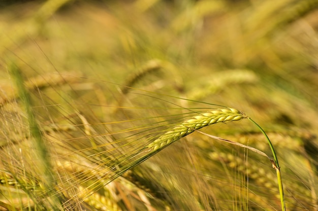 Close-up de una espiga de trigo rasgando en día de verano