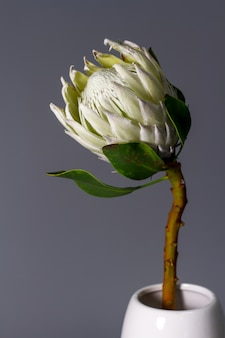 Close-up flor blanca rey protea en florero de cerámica minimalista