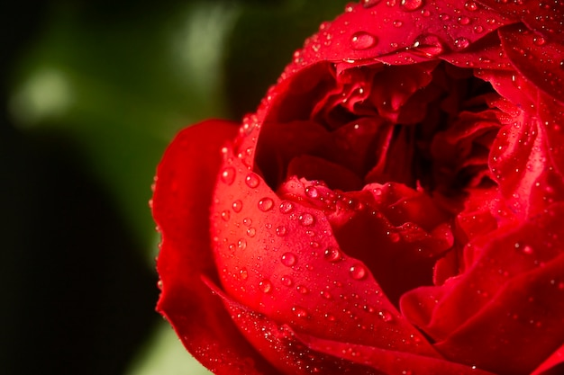 Close-up de flor roja con gotas de agua