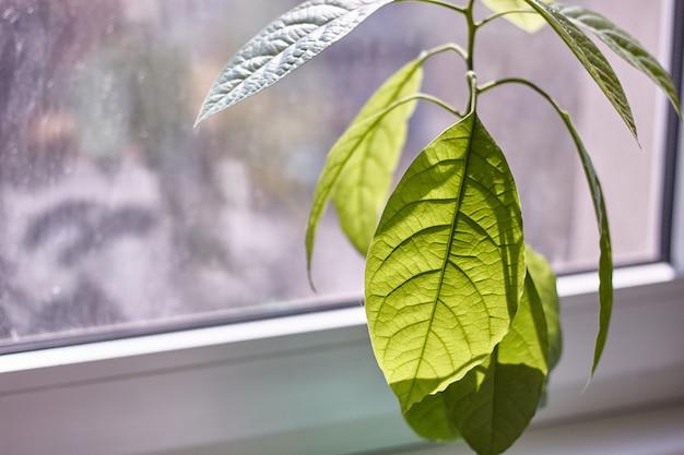 Close-up de follaje de un joven árbol de aguacate contra una ventana lluviosa
