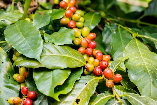 Close-up granos de café frescos maduración creciendo en árbol con hoja de café en el fondo