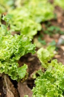 Close-up hermosa ensalada cultivada en el jardín