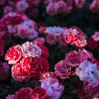 Close-up hermosas rosas en arbusto
