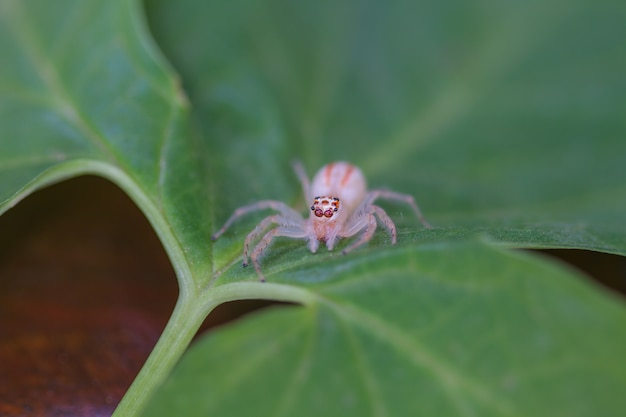 Close up jumping spider