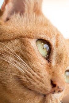 Close up lindo gato jengibre gato atigrado en el ojo